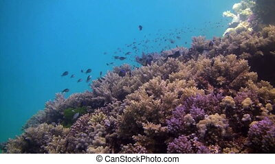 Pan over a healthy reef in Australia to find a coral trout.
