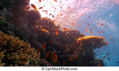 coral reef red fish - red fish on coral reef, Red sea