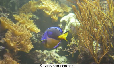 Energetic swimming of a tropical coral reef surgeonfish. Some of the most popular fishes in the marine aquarium hobby are the surgeonfishes, all of which are in the Family Acanthuridae.