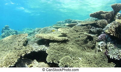 Tropical coral reef and small fishes, shallow water, in the Red Sea.