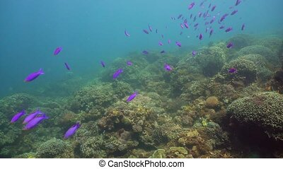 Coral reef and tropical fish. Camiguin, Philippines - Coral...