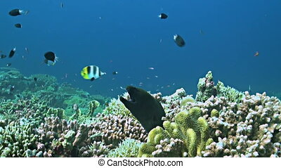 Coral reef with a Moray eel and plenty fish. Cleaner Wrasse, Damselfishes, Fusiliers, Midnight Snapper and more