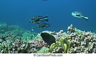 Coral reef with a Moray eel and plenty fish. Damselfishes, Fusiliers, Midnight Snapper and more