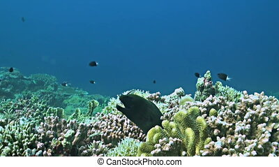 Coral reef with a Moray eel and plenty fish. Damselfishes, Fusiliers, Snapper, Triggerfishes and more