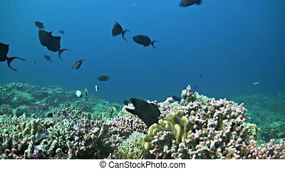 Coral reef with a Moray eel and plenty fish. School of Fusiliers, Snapper, Triggerfishes and more