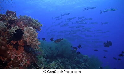 Coral reef with a school of barracudas