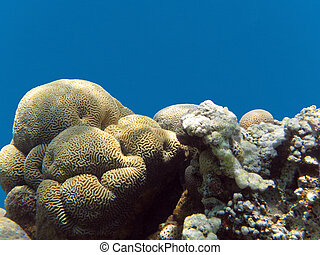 coral reef with brain coral in tropical sea, underwater