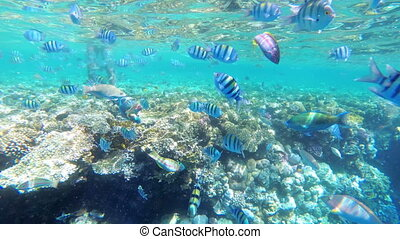 Coral Reef with Colorful Fish Floating in Red Sea near the Coral Reef. Egypt. Slow Motion. Wonderful underwater world with Tropical fish. Marine life background. Underwater view in Clear Blue Water.