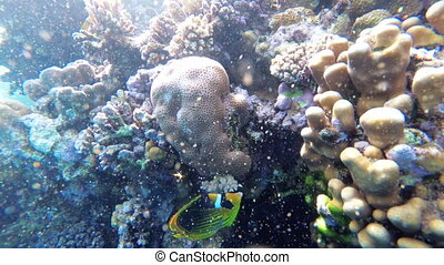Coral Reef with Colorful Fish Floating in Red Sea near the Coral Reef. Egypt. Wonderful underwater world with Tropical fish. Marine life background. Underwater view in Clear Blue Water.