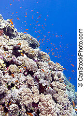 coral reef with exotic fishes in tropical sea, underwater