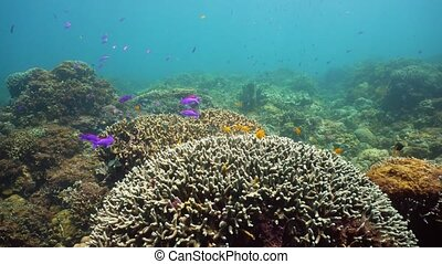 Coral reef with fish underwater. Camiguin, Philippines -...