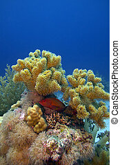 coral reef with great soft coral and blue-spotted red exotic fish on the bottom of red sea