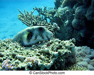coral reef with puffer fish
