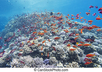 coral reef with shoal of fish anthias in tropical sea, underwater