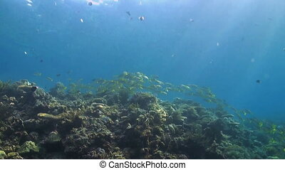 Coral reef with a school of snapper