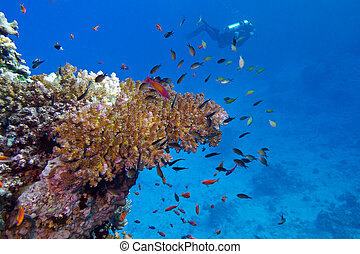 coral reef with stony coral and diver at the bottom of tropical sea