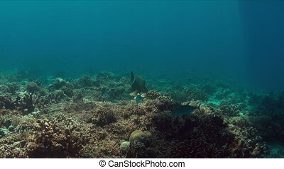 Coral reef with Trevallies and Napoleon Wrasse.