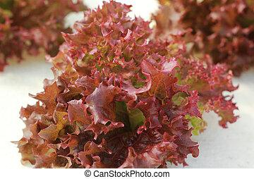 coral rojo, vegetal, en, hydroponic, granja