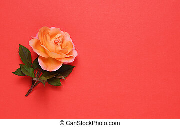 Coral rose on red background with text space