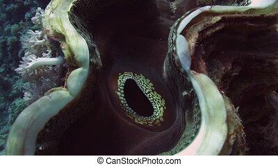 Coral scallop (Pedum spondyloideum) in Red Sea