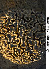 coral, scleractinia, pedregoso