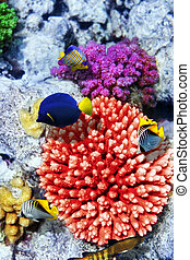 coral, sea.egypt, pez, rojo
