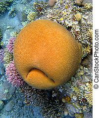 Coral smiley