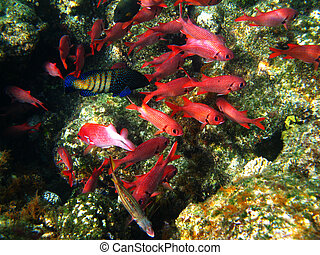 coral, soldierfishes, arrecife, piña