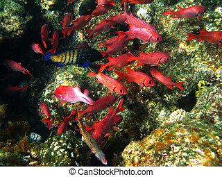 coral, soldierfishes, arrecife, piña