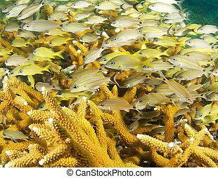 coral staghorn, shelter., diferente, grunhidos, usando, espécie, juvenil
