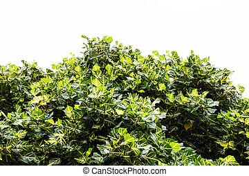 Coral Tree leaf on white