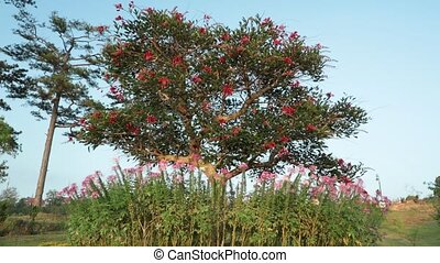 Coral Tree, Lucky Bean Tree, High Definition Footage -...