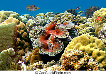 coral, tridacna, gigas, arrecife