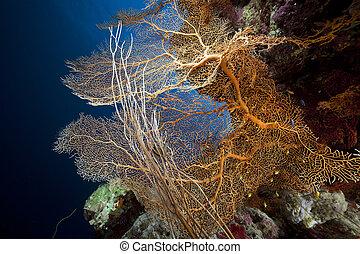 coral, ventilador, sea., mar, pez, rojo