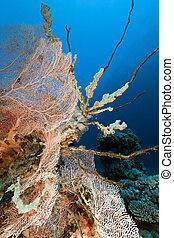 coral, ventilador, sea., pez, rojo