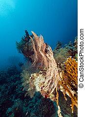 coral, ventilador, sea., rojo