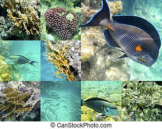 coral, y, pez, endeudado, mar, egipto, áfrica.