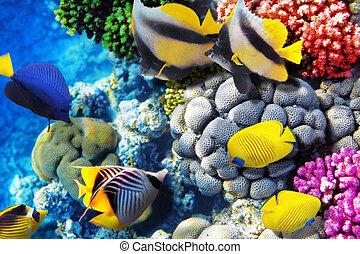 coral, y, pez, endeudado, sea., egipto, áfrica.