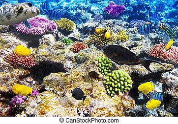 coral, y, pez, endeudado, sea., egipto, áfrica