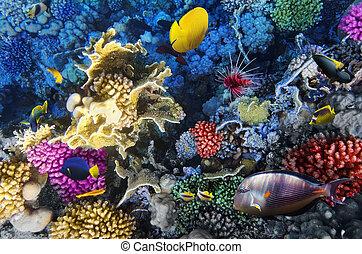 coral, y, pez, endeudado, sea., egyp