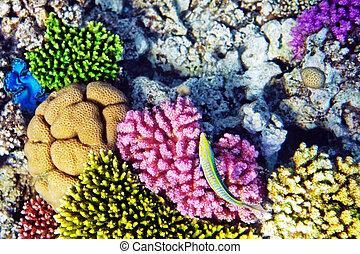 coral, y, pez, endeudado, sea.cleaner, wrasse, fish.