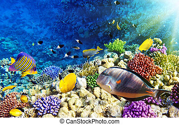 coral, y, pez, endeudado, sea.egypt