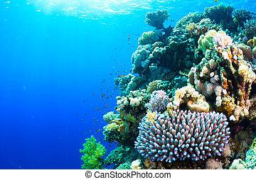 coral, y, pez