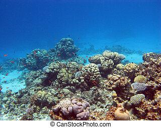 corales, coral, duro, arrecife