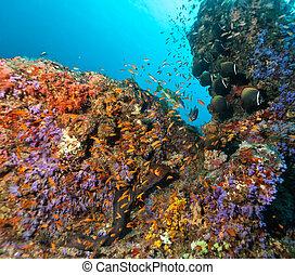 corales, coral, duro, suave, arrecife