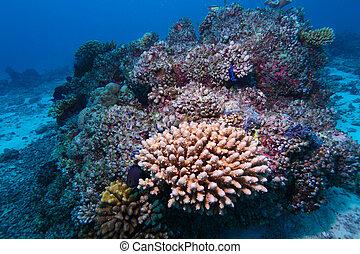 corales, duro, maldivas