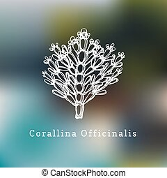 Corallina Officinalis vector illustration.Drawing of...