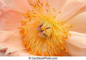 corallo, closeup, peonia