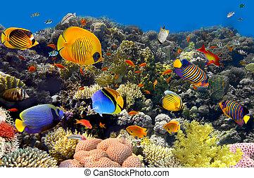 corallo, fish