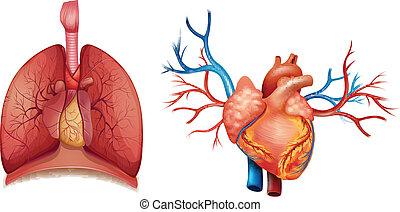 corazón, órgano